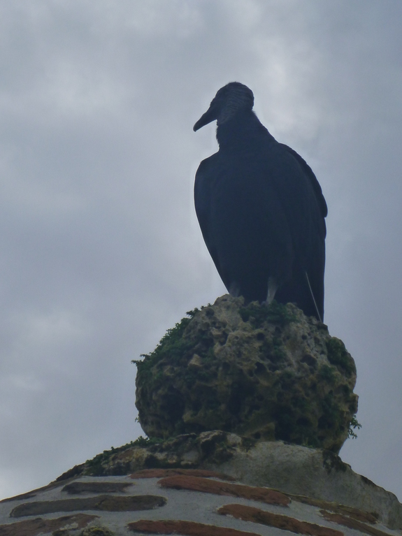Vulture above the Fortress of San Jeronimo